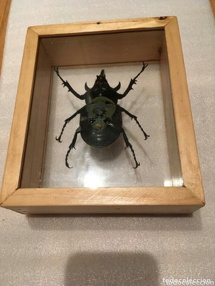 Coleccionismo: Escarabajo disecado - Foto 2 - 173033259