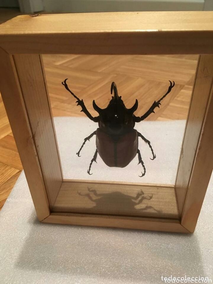 Coleccionismo: Escarabajo disecado - Foto 3 - 173033259