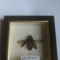 Coleccionismo: ESCARABAJO DISECADO. INSECTO. Lote 173721764