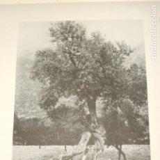 Collectionnisme: VALLDEMOSA MALLORCA UN OLIVO ANTIGUA LAMINA HUECOGRABADO 1929. Lote 175463903