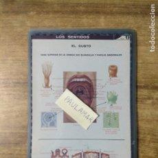 Coleccionismo: MFF.- LAMINA PLASTIFICADA DEL ORGANISMO HUMANO.- LOS SENTIDOS. EL GUSTO. CARA SUPERIOR DE LA LENGUA. Lote 179953291