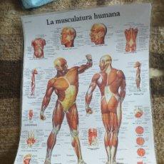Coleccionismo: LÁMINA PLASTIFICADA DEL CUERPO HUMANO: MÚSCULOS. Lote 182044378
