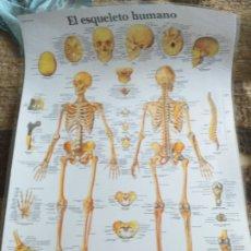 Coleccionismo: LÁMINA PLASTIFICADA DEL CUERPO HUMANO: HUESOS. Lote 182044482