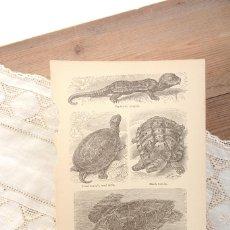 Collezionismo: LÁMINA ANTIGUA DE ENCICLOPÉDIA DE TORTUGAS, LÁMINAS AÑOS 60 DE ANIMALES. Lote 224339146