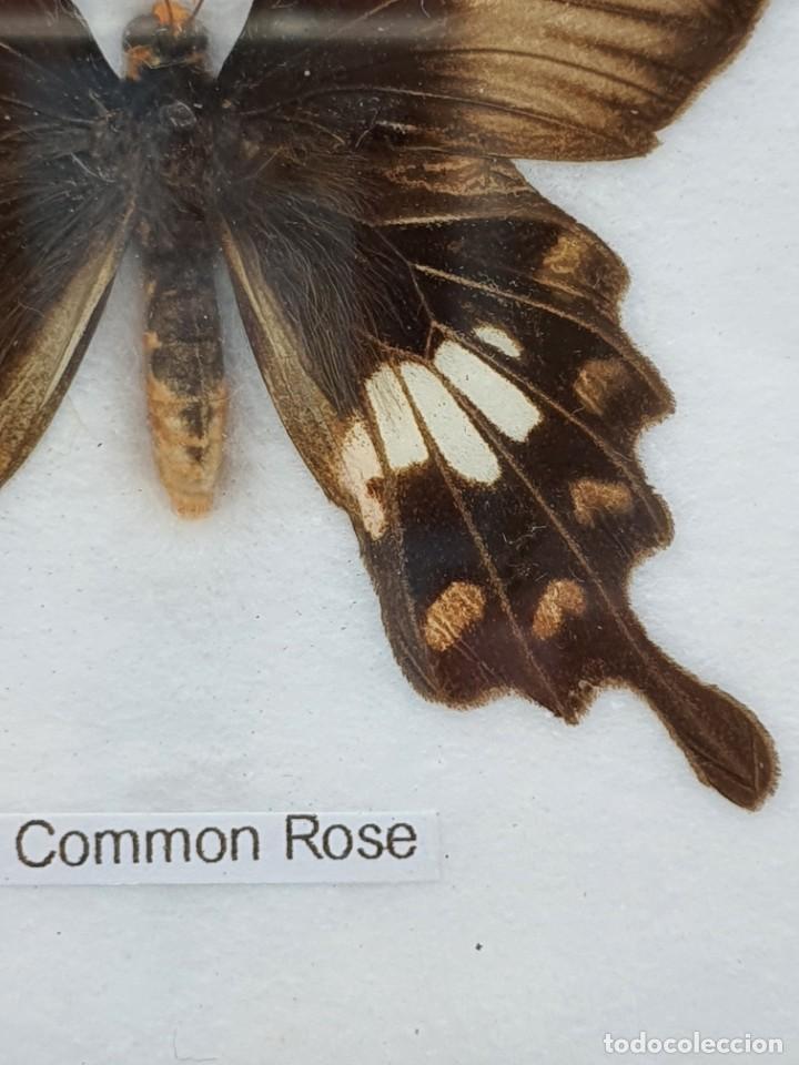 Coleccionismo: CUADRO MARIPOSA DISECADA ( THE COMMON ROSE ) - Foto 2 - 224724713