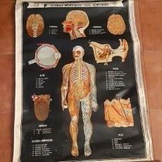 Coleccionismo: MURAL ESCOLAR COLECCIÓN DE LÁMINAS DE ANATOMÍA IV, SISTEMA NERVIOSO, LOS SENTIDOS, DCP. Lote 236914680
