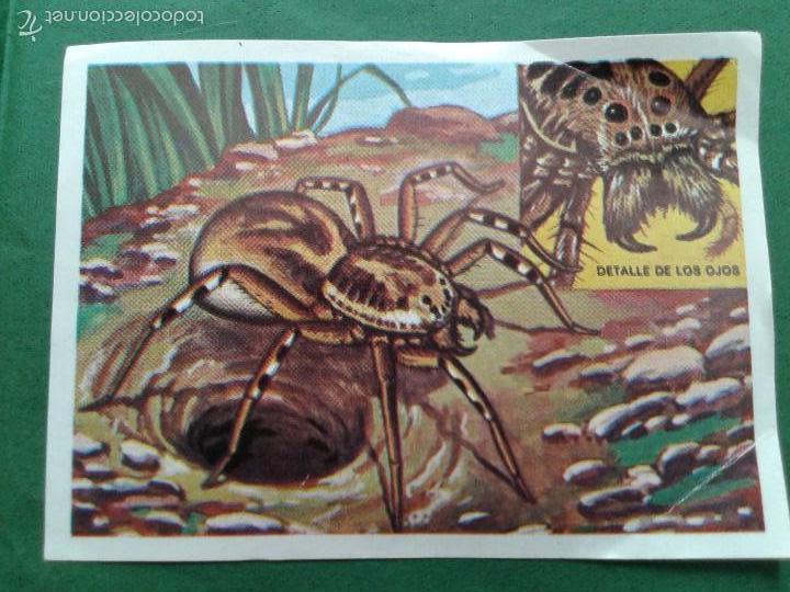UN CROMO SUELTO Nº 34 TARÁNTULA COLECCIÓN PANORAMA ZOOLGICO 1973 (Coleccionismo - Cromos y Álbumes - Cromos Antiguos)