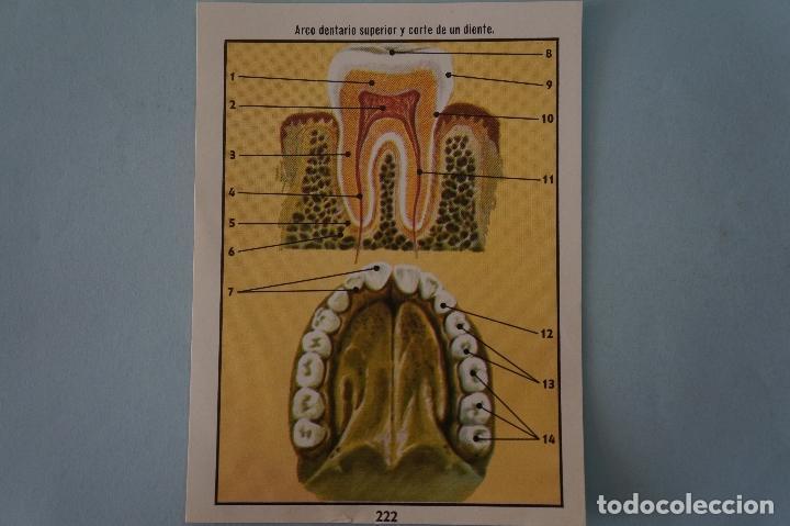 CROMO DE CIENCIAS NATURALES SIN PEGAR Nº 222 DEL ALBUM CIENCIAS NATURALES DE EASO (Coleccionismo - Cromos y Álbumes - Cromos Antiguos)