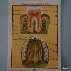 Coleccionismo Cromos antiguos: CROMO DE CIENCIAS NATURALES SIN PEGAR Nº 222 DEL ALBUM CIENCIAS NATURALES DE EASO. Lote 151876302