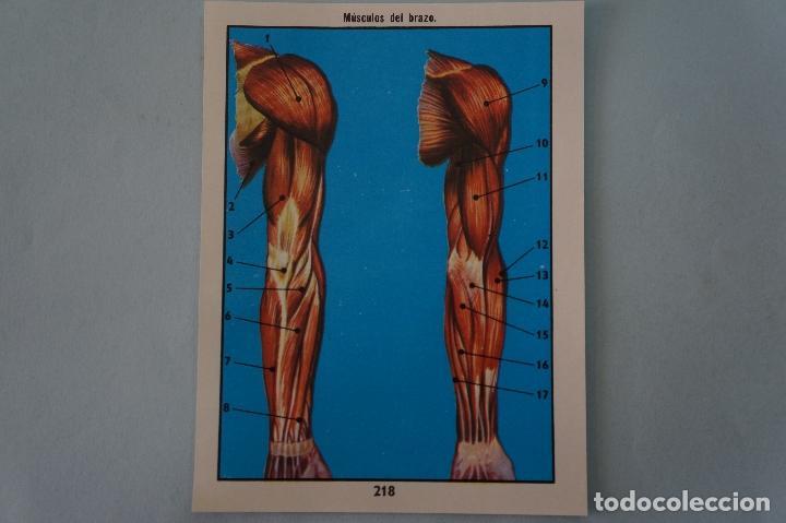 CROMO DE CIENCIAS NATURALES SIN PEGAR Nº 218 DEL ALBUM CIENCIAS NATURALES DE EASO (Coleccionismo - Cromos y Álbumes - Cromos Antiguos)