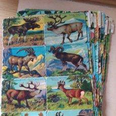Coleccionismo Cromos troquelados antiguos: IMPRESIONANTE LOTE DE CROMOS CHOCOLATES LA INDIANA. 66 HOJAS, 528 CROMOS EN TOTAL, EN BUEN ESTADO.. Lote 240584395