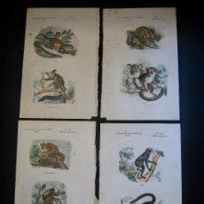 Documentos antiguos: SIGLO XIX ILUMINADOS ACUARELA - ZOOLOGIA - 8 PRIMATES INFERIORES MONO TITI. Lote 20306350