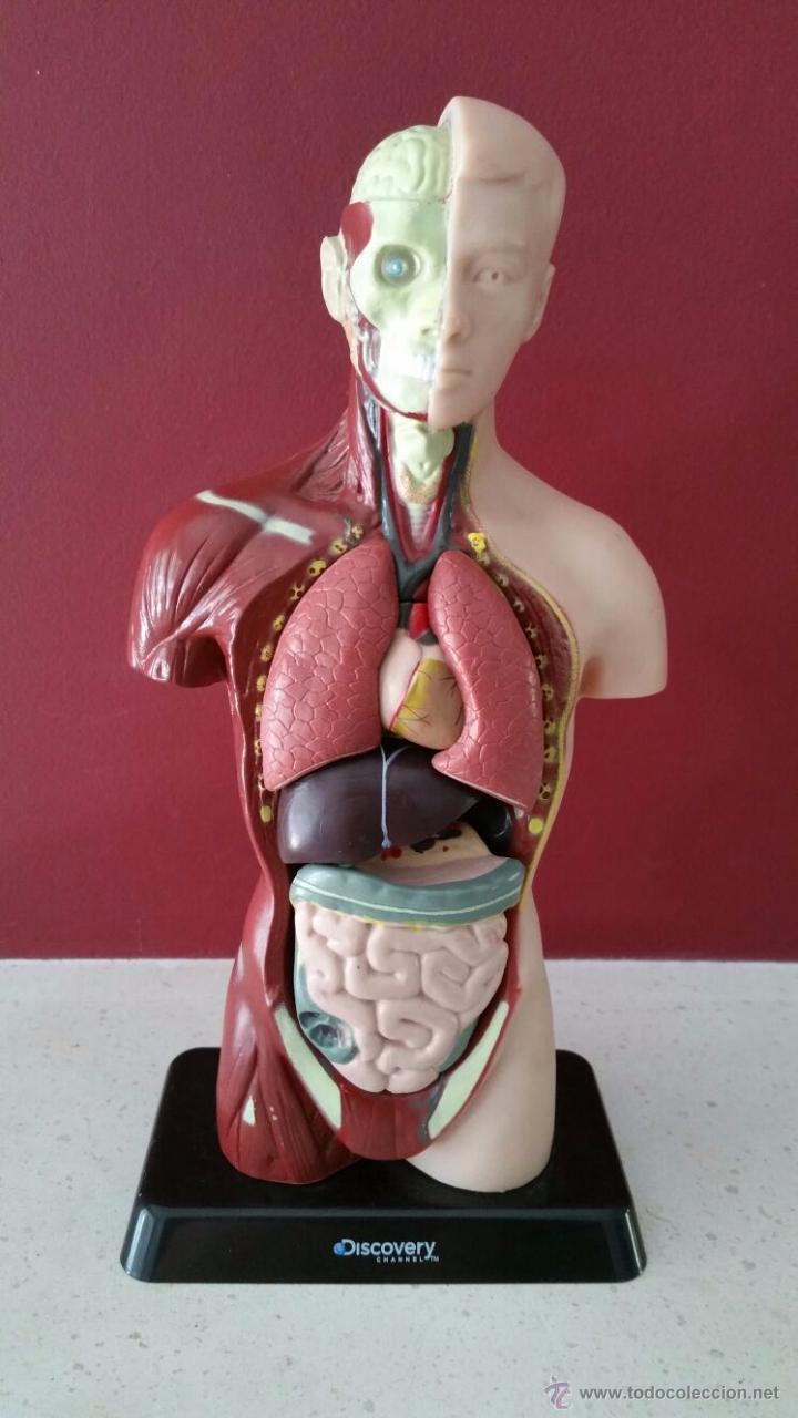 muñeco busto partes del cuerpo humano - organos - Comprar Otras ...