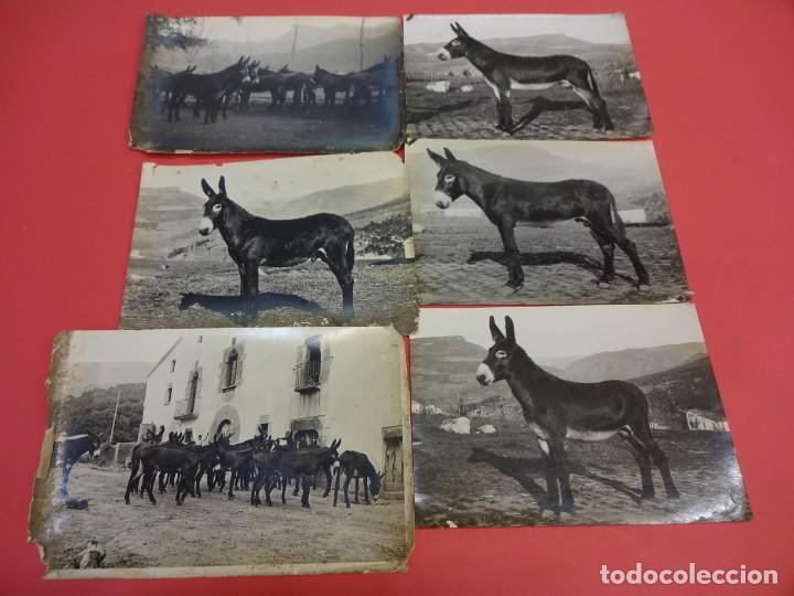 Fotografía antigua: San Martín de CENTELLAS (Barcelona). Interesante lote 6 fotos. Burros o GARAÑONES de cría. Años 1920 - Foto 2 - 136036670