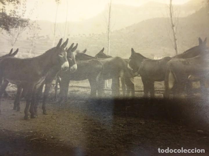 Fotografía antigua: San Martín de CENTELLAS (Barcelona). Interesante lote 6 fotos. Burros o GARAÑONES de cría. Años 1920 - Foto 6 - 136036670
