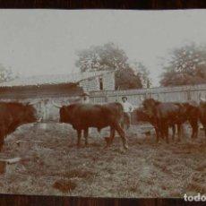 Fotografía antigua: FOTOGRAFIA ALBUMINA 1899, TOROS DE CAMARGUE CRUZADOS CON ESPAÑOLES, SON DE LA GANADERIA DEL SR. YONN. Lote 169534552