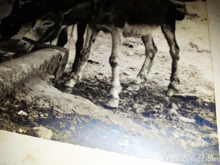 Fotografía antigua: FOTOGRAFÍA BURROS ASNOS ABREVADERO TÍTULO COMPAÑEROS DE FATIGAS BROMURO POR ANTONIO APARISI SOLER - Foto 2 - 173679295