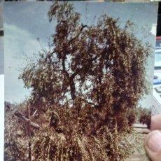Fotografía antigua: FOTOGRAFIA DE ARBOLES DEDICADA PEQUEÑO DESPERFECTO. Lote 180398710