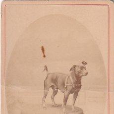 Fotografía antigua: FTO. C.V. RETRATO CANINO. PERRO MASCOTA SOBRE MESA. FOT: S PACAULT PAU. Lote 296787813