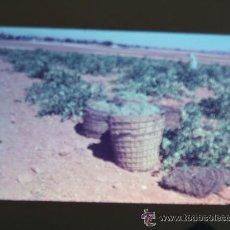 Fotografía antigua: ALMERIA ESCENA DE LA VENDIMIA DIAPOSITIVA KODAK 1958 . Lote 28527887