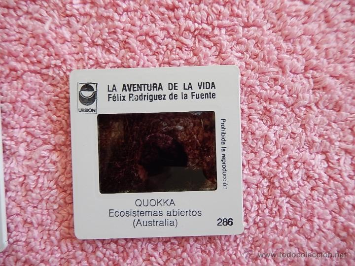 LA AVENTURA DE LA VIDA 286 DIAPOSITIVA FÉLIX RODRÍGUEZ DE LA FUENTE EDICIONES URBION 1980 (Fotografía Antigua - Diapositivas)