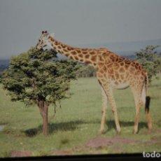 Fotografía antigua: COLECCION N 5 DE 60 SENSACIONALES DIAPOSITIVAS DE KENYA-MASAI-MARA-ICENIA-NIPO REALIZADAS EN 1981. Lote 70162309