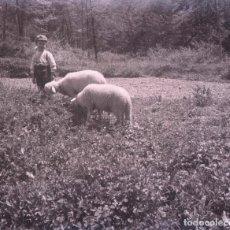 BERGA. BErguedà. Bucólica imagen de un niño y dos ovejas. c. 1930