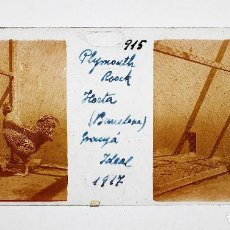 Fotografía antigua: GRANJA IDEAL .GALLINA PLYMOOTH ROCK - HORTA, BARCELONA AÑO 1917. CRISTAL POSITIVO 10X4CM.. Lote 134392630