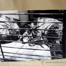Fotografía antigua: FOTO, FOTOGRAFIA, LEOPARDO, ZOO DE BARCELONA, 1965, 7 X 9 CM. Lote 31321376