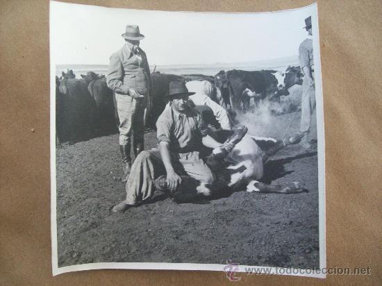 YERRA DE GANADO - MARQUAGE DES ANIMAUX - MARKING OF ANIMALS (Fotografía Antigua - Fotomecánica)