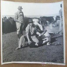 Fotografía antigua - YERRA DE GANADO - MARQUAGE DES ANIMAUX - MARKING OF ANIMALS - 31547276