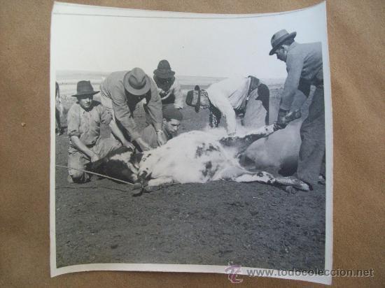 MARQUAGE DES ANIMAUX - YERRA DE GANADO - MARKING OF ANIMALS (Fotografía Antigua - Fotomecánica)
