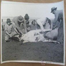 Old photograph - MARQUAGE DES ANIMAUX - YERRA DE GANADO - MARKING OF ANIMALS - 31547281