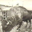 Fotografía antigua: CIRCO. BISONTE. 12 X 18 CM.. Lote 31957956