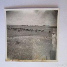 Fotografía antigua: GANADO VACAS. BOVINS VACHES. CATTLE COWS.. Lote 57775975