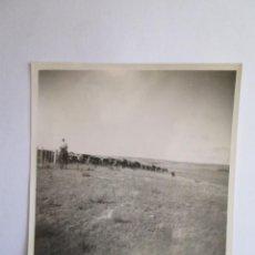 Fotografía antigua: GANADO VACAS. BOVINS VACHES. CATTLE COWS.. Lote 57810569