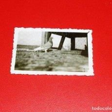 Fotografía antigua: FOTOGRAFIA DE PALOMA CONCURSO DE TARRAGONA AÑO 1931-32.COLOMBICULTURA.. Lote 83446484