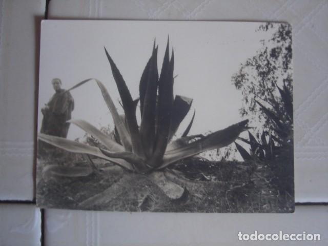MARRUECOS. HOMBRE CON ATUENDO TRADICIONAL PASEANDO JUNTO A UNAS PITAS. CASABLANCA, INVIERNO DE 1967 (Fotografía Antigua - Fotomecánica)