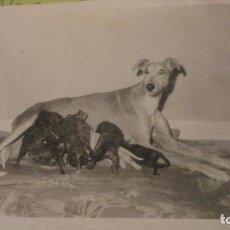 Fotografía antigua: ANTIGUA FOTOGRAFIA DE PERRO GALGO CON CACHORROS.AÑOS 60. Lote 160033974