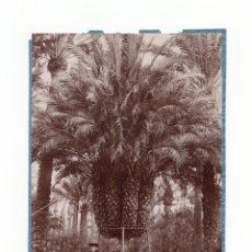 Fotografía antigua: ELCHE.(ALICANTE).- PALMERA DEL CURA LA IMPERIAL.16,5X12.. Lote 177682010