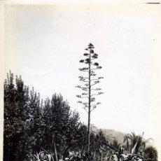 Fotografía antigua: FOTOGRAFIA DE UN RINCON DE LOS JARDINES DE MALAGA-ES CURIOSA LA FLOR DE LA PLANTA DE BASTANTE ALTURA. Lote 177694163