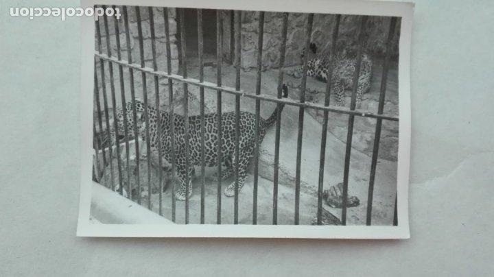 FOTO DE UN LEOPARDO. ZOO DE JEREZ DE LA FRONTERA, 1977 (Fotografía Antigua - Fotomecánica)