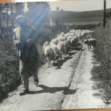 Fotografía antigua: FOTOGRAFIA SAN CELONI. BARCELONA. AÑO 1962. 24CM X 18CM. PASTOR REBAÑO OVEJAS, CAMPO.... Lote 182646070