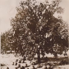 Fotografía antigua: GRAPE FRUIT TREES ORANGE COUNTY FLORIDA 21*17CM FONDS VICTOR FORBIN 1864-1947. Lote 183184588