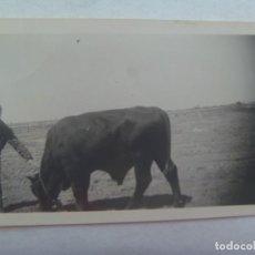 Fotografía antigua: FOTO DE UN TORO . DE CASA PEREZ, BADAJOZ. Lote 194245887