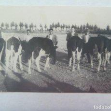 Fotografía antigua: FOTO DE CAMPEROS Y VACAS. DE JUSTO, GUADIANA DEL CAUDILLO ( BADAJOZ ). Lote 194532823