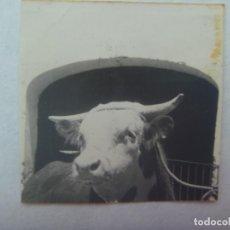 Fotografía antigua: PEQUEÑA FOTO DE UNA VACA O UN TORO. Lote 194544110