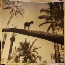 Fotografía antigua: PALMERAL DE ELCHE FOTO. Lote 194617380