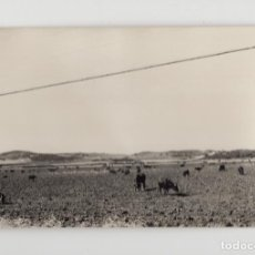 Fotografía antigua: GANADERÍA DE TOROS PASTANDO EN CÁDIZ (TAMAÑO 8´8 X 13´9). Lote 277515248