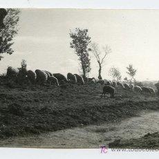 Photographie ancienne: PASTOR Y OVEJAS. PRECIOSA IMAGEN. BARCELONA. CAMINO DE TONA. 2/1960. Lote 22090814